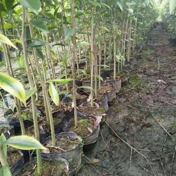 沉香种子,沉香苗基地,沉香苗产地,沉香苗价格,沉香树苗,百园沉香育苗基地,海南沉香树苗