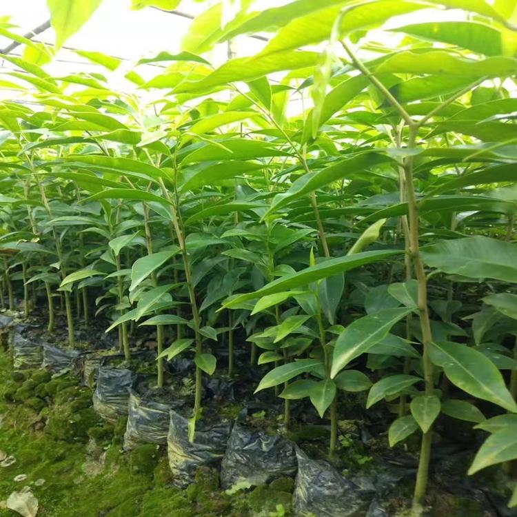 沉香苗多少钱一棵,沉香中苗,正宗海南沉香树苗,沉香苗批发直销,沉香树种苗,沉香树苗,奇楠树苗,沉香种子