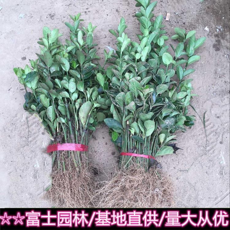 基地供应冬青 常青绿化树木 规格 品种齐全 大量批发